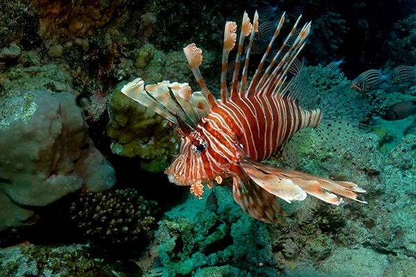 How Bad is the Lionfish Invasion? We're Now Trying to ...